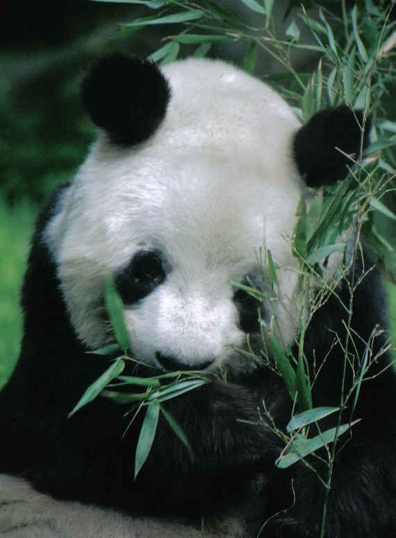 Giant Panda Bear yan yan eating bamboo
