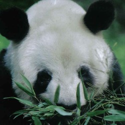 Giant Panda Bear yan yan eating