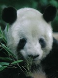 Giant Panda Bear yan yan face