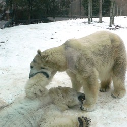 Polar Bear arctic MP-Ursus_maritimus4