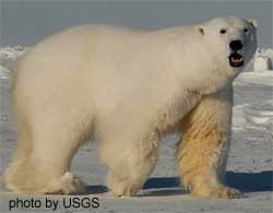 Polar Bear arctic Male_polar_bear