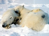 Polar Bear arctic Mother_cubs