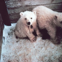 Polar Bear arctic Noaa-polar4