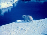 Polar Bear arctic Noaa-polar8