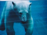 Polar Bear arctic Parc_aquarium Quebec  polaire