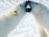 Polar Bear arctic Play fight osos