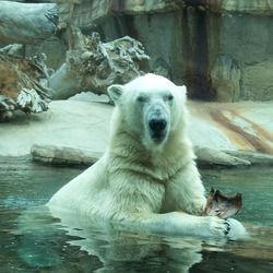 Polar Bear arctic Polar Bear Water Zoo