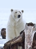 Polar Bear arctic Polar_Bear (2)