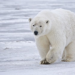 Polar Bear arctic Polar_Bear Alaska