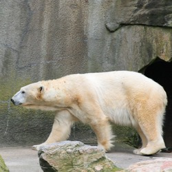Polar Bear arctic Polar_Bear1