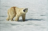 Polar Bear Photo Gallery