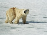 Polar Bear arctic Polar_Bear_(js)_1