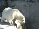 Polar Bear arctic Polar_Bear_Buffalo_Zoo