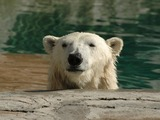 Polar Bear arctic Polar_Bear_Head