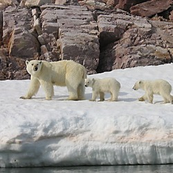 Polar Bear arctic Polar_Bear_Mother_and_Cubs_detail