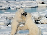 Polar Bear arctic Polar_Bears_Play_fight
