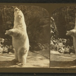 Polar Bear arctic Polar_bear_(Ursus_maritimus Zoo chicago lincoln park