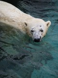 Polar Bear arctic Polar_bear_-Ueno_Zoo