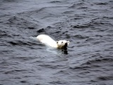 Polar Bear arctic Polar_bear_arctic