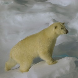 Polar Bear arctic Polar_bear_hg