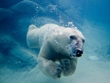 Polar Bear arctic Polar_bear_swimming_in_zoo