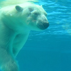 Polar Bear arctic Polar_bear_under_water
