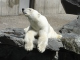 Polar Bear arctic Polar_bear