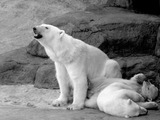 Polar Bear arctic Polar_bear_with_cubs_2