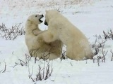 Polar Bear arctic Sparring_2_2004-11-16