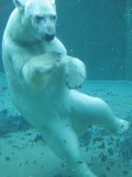 Polar Bear arctic Swimming under water