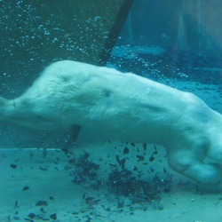 Polar Bear arctic Swimming underwater zoo