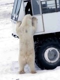 Polar Bear arctic Tundra Buggy curious