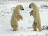Polar Bear arctic Two bears sparring