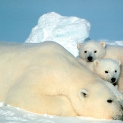 Polar Bear arctic Ursus_maritimus wild mother cubs