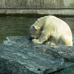 Polar Bear arctic Wilbar1