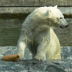 Polar Bear arctic Wilbar2