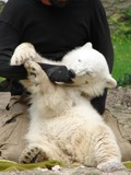 Polar Bear arctic babby cub playing
