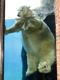 Polar Bear arctic big swim Ursus maritimus