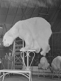 Polar Bear arctic circus performing
