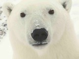 Polar Bear arctic close face portrait