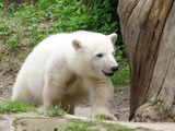 Polar Bear arctic cub playing Ursus maritimus