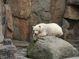 Polar Bear arctic endangered captivity