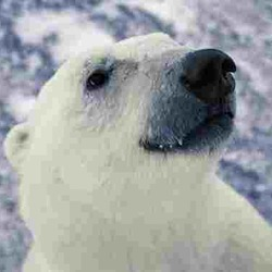 Polar Bear arctic face portrait
