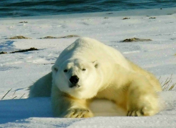 Polar Bear arctic laying ice
