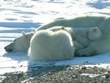 Polar Bear arctic mother and cubs