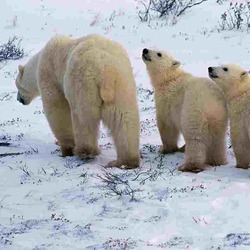 Polar Bear arctic mother cubs Ursus maritimus