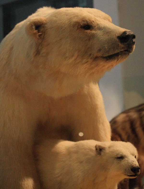 Polar Bear arctic mother with_cub