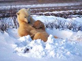 Polar Bear arctic relax snow