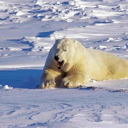 Polar Bear arctic snow wild