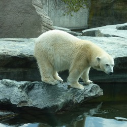 Polar Bear arctic white ice